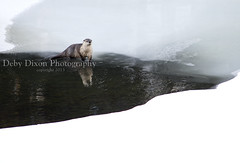 Otter, Lamar River (Deby Dixon) Tags: travel winter tourism landscape photography skull nationalpark wildlife goose adventure otter yellowstonenationalpark wyoming elk bison wolves bighornsheep naturephotography coyotes wolfwatchers