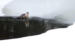 Otter, Lamar River (Deby Dixon) Tags: travel winter tourism landscape photography skull nationalpark wildlife goose adventure otter yellowstonenationalpark wyoming elk bison wolves bighornsheep naturephotography coyotes wolfwatchers
