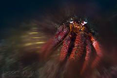Mrcrab (Entoñete) Tags: crustaceos