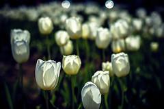 In numbers (Melissa Maples) Tags: flowers white turkey 50mm spring nikon asia tulips bokeh trkiye antalya nikkor afs   50mmf18g f18g d5100