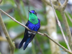 Violet-crowned Woodnymph (Thalurania columbica) (WRFred) Tags: bird nature hummingbird panama centralamerica crownedwoodnymph thaluraniacolumbica taxonomy:binomial=thaluraniacolumbica