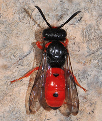Beautiful Potter/Mason Wasp (NatureNM) Tags: newmexico potterwasp oterocounty odyneruscinnabarinus