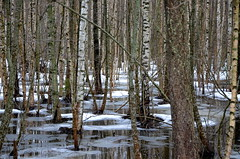 Finnish woods (fede_gen88) Tags: suomi finland nature cold winter espoo water europe trees woods birches birch snow ice nikon d5100
