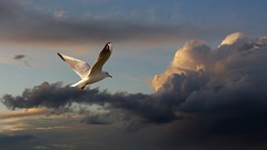 Seagull at sunset (Dragan*) Tags: light sunset sky bird love nature animal clouds fly cool wings peace glory seagull gull serbia joy flight feathers free tranquility serenity getty romantic belgrade bliss beograd srbija kalemegdan ptica galeb