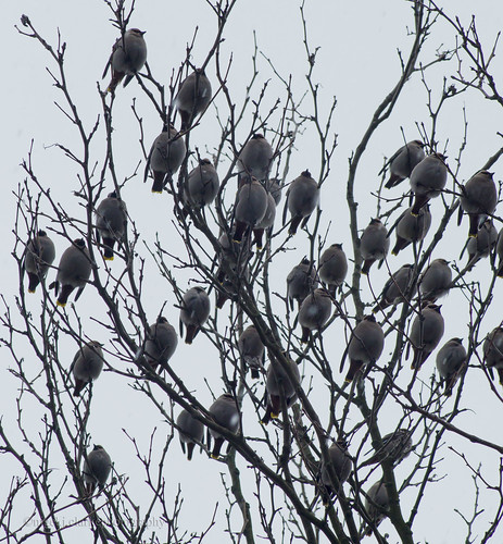 Safety In Numbers (Waxwing)