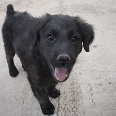 Valentina the 9 Week Old Black Labrador Mix Puppy (Immature Animals) Tags: arizona rescue baby black cute animal tongue hair lab long labrador tucson adorable pima bark haired nineweeks koalition pacc backpacc
