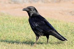 Carrion Crow, Wellesbourne, Warwickshire (Andy_Hartley) Tags: mygearandme rememberthatmomentlevel1