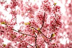 Sakura (Thomo13) Tags: park flowers japan canon cherry eos tokyo spring shinjuku blossom mark ii 桜 sakura 5d 新宿御苑 gyoen hanami 2013 櫻さくら gettyimagesjapan13q1