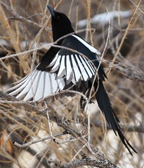 Magpie in Flight_04 (Circled Thrice) Tags: bird birds flying colorado flight coloradosprings co magpie magpies pikespeak rampart rampartpark