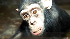 Chimpanzee (floridapfe) Tags: face animal zoo expression korea ape chimpanzee everland