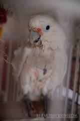 IMG_5327 (ReverieRevel) Tags: pet bird parrot boo cockatoo wetbird wetpet goffinscockatoo wetparrot