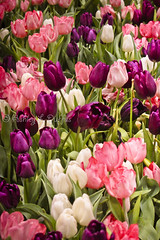 Good Friday (ash2276) Tags: flowers toronto ontario canada garden march spring tulips gardening explore blooms springtime on canadablooms ald explored 2013 ash2276 ashleyduffus ashleylduffus wwwashleysphotoscom