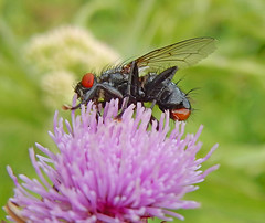 Musca Domestica* (N0731) (Le Photiste) Tags: detail nature animals wow nikon wildlife ngc photographers insects mosquito clay soe housefly muscadomestica fairplay giveme5 planetearth autofocus photomix prophoto comn husflue simplythebest finegold stubenfliege greatphotographers digitalcreations beautifulcapture commonhousefly moscadomstica mouchedomestique huisvlieg damncoolphotographers artisticimpressions simplysuperb moscadomestica thebestshot digifotopro afeastformyeyes grosestubenfliege iqimagequality yourbestoftoday saariysqualitypictures hairygitselite planetearthnature lovelyflickr vividstriking naturesprime bestpeopleschoice gemeinestubenfliege universalart blinkagain theredgroup photographicworld planetearthwildlife aphotographersview thepitstopshop thelooklevel1red kamervlieg mastersofcreativephotography creativeimpuls vigilantphotographersunitelevel1 cazadoresdeimgenes rainbowofnaturelevel1red infinitexposure djangosmaster nikoncoolpixs9900 moscadecasa husflugan