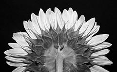 sunflower B&W version (eDDie_TK) Tags: colorado co sunflowers flowers flower blackandwhite bw