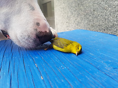 Just sleeping (Exile on Ontario St) Tags: bird oiseau mort dead death lying ground fallen canary canari jaune yellow dog snout chien museau nez nose sniff smelling smell sniffing examine curiosity look animals montreal animal bleu blue pet montral
