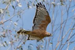 DSC_4268.jpg Red-shouldered Hawk, Schwan Lagoon (ldjaffe) Tags: redshoulderedhawk schwanlake