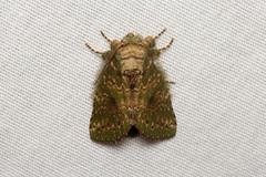 Lepidoptera sp. (Moth) - Costa Rica (Nick Dean1) Tags: lepidoptera moth lakearenal costarica guanacaste animalia arthropoda arthropod hexapoda hexapod insect insecta