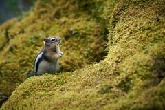 Chipmunk in Johnston Creek (Erik Pronske) Tags: banffnationalpark canadianrockies johnstoncanyon rockymountains alberta mountains canada nationalpark chipmunk banff animal improvementdistrictno9 ca