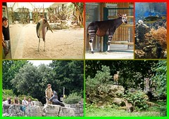 Zoo Frankfurt (Magdeburg) Tags: frankfurter frankfurt zoo zoofrankfurt frankfurterzoo frankfurtammain zoologischergartenfrankfurt zoologischer garten am main marabu afrika africa kongo okapi congo zwergaguti sdamerika green acouchy south america greenacouchy southamerica