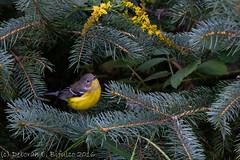 Migration... (dbifulco) Tags: mawa birds fall flowers goldenrod magnoliawarbler nature newjersey nikkor300f4pfed pinetree wildlife yard