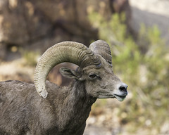 02469222-79-Desert Bighorn Sheep-1 (Jim There's things half in shadow and in light) Tags: 2016 aug bouldercity animals bighornsheep canon5dmarkiii conon70200lens park summer