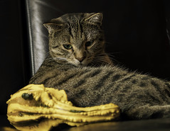 Oops, strange yellow thingy is invading my sofa ! (FocusPocus Photography) Tags: sethi katze kater cat chat gato tier animal haustier pet krbis pumpkin