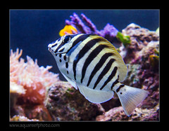 polyzona7049_060616 (kactusficus) Tags: reef aquarium captive fauna fish coral rcifal acanthuridae acanthurus polyzona zebra surgeonfish tang chirurgien zebre
