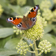 Eyes buterfly (Toni P. Juan) Tags: butterfly botanic butterflies macro mariposas macrofotografa papallones papillon lepidoptera eyes ojos