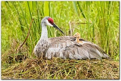 Hello! (mlibbe) Tags: birds chick florida lakemary nature nest sandhillcrane seminolecounty wildlife wwwmichaellibbephotographycom