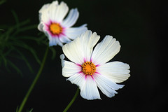 Cosmos DOF (Brian 104) Tags: cosmos white two depthoffield onblack