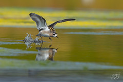 Phalarope à bec étroit (Tifaeris) Tags: charadriiformes phalaropeàbecétroit phalaropuslobatus redneckedphalarope scolopacidés bird oiseau