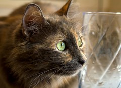 Isabella spots a bird (suzeesusie) Tags: cat kitty tortie tortoiseshell tortitude furry dilute animal pet face profile portrait raw canon closeup