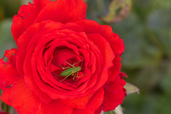 Green on Red 2 (Phal44) Tags: canon 7d2 7d mk2 100mmf28 f28l macro rose red flower green insect garden