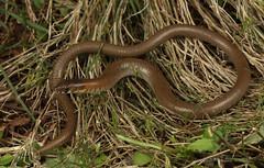 Leaden delma (Delma plebeia) (Jordan Mulder) Tags: leaden delma legless lizard wildlife reptile plebeia hunter valley