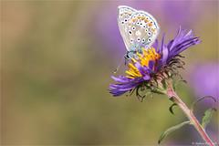 Argus bleu - Polyommatus icarus  - EXPLORE (Merci-Thanks) (stefdenis3006) Tags: animauxinsectesetreptilesetamphibiens argusbleupolyommatusicarus grandparcsetespacepublique papillon parcangrignon montral qubec canada