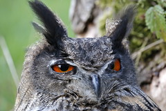 Birds of Prey (Tom Tiger) Tags: owl nature birds uil natuur woud bos forrest red eye piel nederland roofvogel