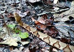 Copperhead #2, Lost Valley - Northwest Arkansas (danjdavis) Tags: copperhead snake reptile wildlife lostvalley buffalonationalriver arkansas