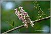 6421 - Gliricidia sepium - Mexican lilac (chandrasekaran a 38 lakhs views Thanks to all) Tags: mexican lilac gliricidia sepium சீமை அகத்தி trees flowers nature india chennai canon eos400d