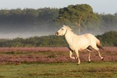 135/366 (aprilmcoady) Tags: horse gorgeoushorse runninghorse gallopinghorse whitehorse runningfree forest newforest woods trees heather landscape zoom wildanimal animal actionshot