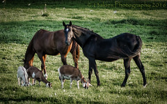 Friendships (13skies) Tags: horses goats friends different farm canningon grazing field eating food sinshine sony sonyalpha99