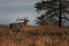 Bull Elk about to bugle (GrandTetonNPS) Tags: grandteton nationalpark