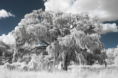 The Majestic Tree in IR (budrowilson) Tags: canon eos7d efs24mmf28stm infrared lifepixel tree spanishmoss