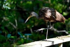 Limpkin (bmasdeu) Tags: tropical birds wetlands florida swamp boardwalk magical grooming