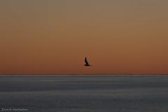 Kittiwake silhouette 2 (Elvar H) Tags: arcticocean helmerhansen siarctic birds ice iceedge sunset