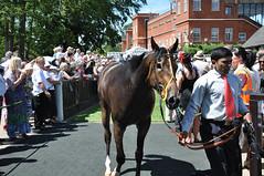 "A One Eyed Horse (Steve Barowik) Tags: cambridge summer horse suffolk nikon colours july jockey races newmarket racecourse stakes highspeed silks d90 ""sport kings"" barowik stevebarowik sbofls26"