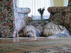 In between (Rosmarie Wirz) Tags: italy dog pets relax sunny indoors rest bergamo drawingroom favouriteplace inbetween thelittledoglaughed bergamascosheepdog twoarmchairs