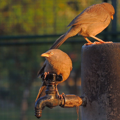 The Jungle Babbler (Turdoides striata)