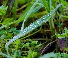 Scivolo per rugiada-5417.jpg (nicky.leva) Tags: green nature nikon erba dew waterdrops rugiada herb valledimaddaloni d7000 nikond7000