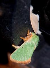 Latoia inexpectata (Charaxes14) Tags: turkey moth nemrut latoia dagi inexpectata