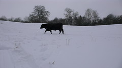Cow. (Smoobs) Tags: snow january toboggan sledge nailsworth 2013